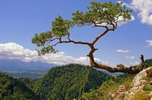 arbre falaise